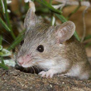 Ratas en el jardín: consejo, control y eliminación