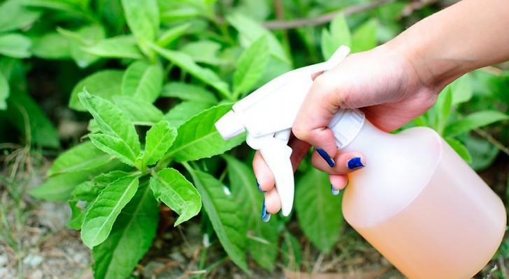 Insecticida natural con ajo