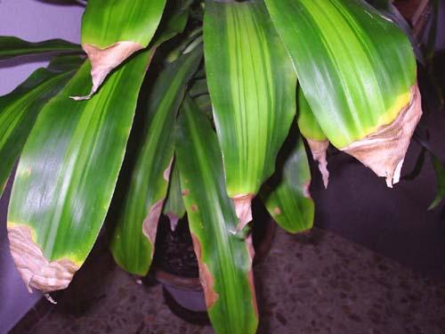 Puntas marrones en las hojas de las plantas Solución